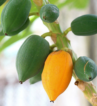 papaya-pawpaw-how-to-store